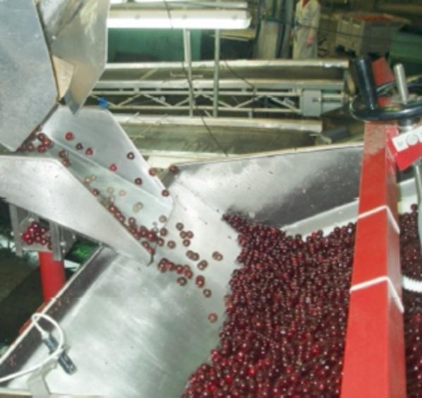 Машина для удаления косточек из вишни,  сливы/абрикоса 1600-2600 кг/час 3